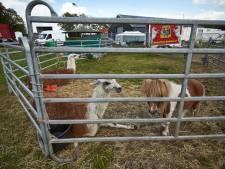 Zijn kamelen wild? Wild genoeg om circus uit Deventer te weren, vinden politici