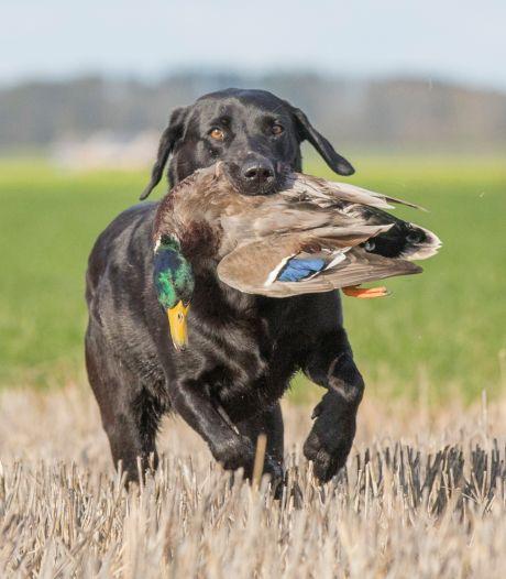 Jager neemt in de polder woerden op de korrel om vrouwtjes te sparen