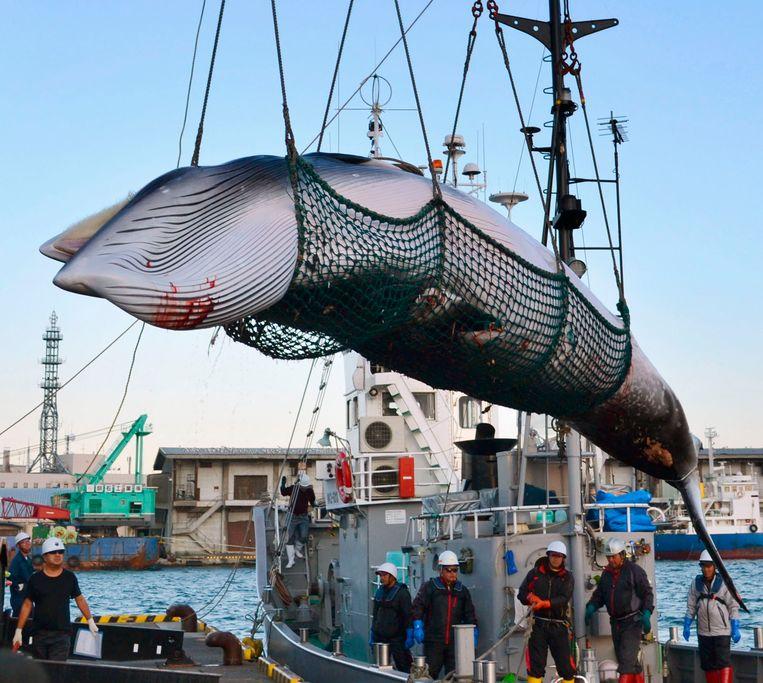 """De commerciële jacht op walvissen is internationaal al ruim 30 jaar verboden, maar Japan doet elk jaar """"wetenschappelijk onderzoek"""" naar de walvis."""
