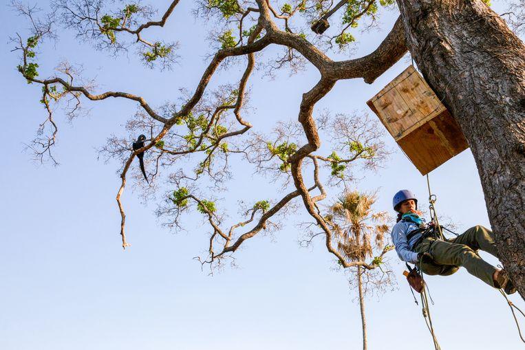 Natuurbeschermers klimmen naar een ara-nestkast. Beeld Noel van Bemmel