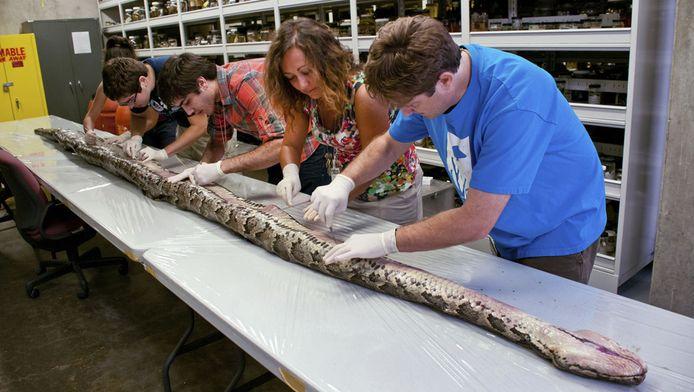 Onderzoekers aan de unief van Florida snijden het beestje open.