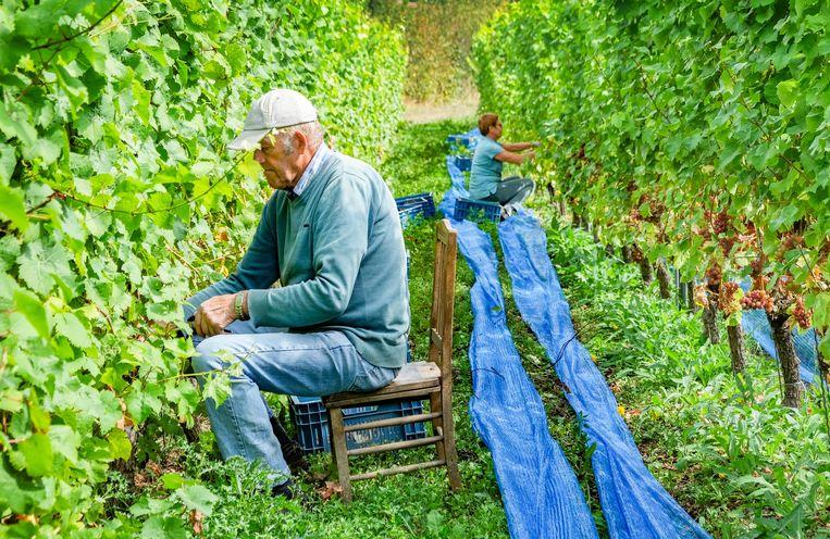 Daniel Anthierens helpt al tien jaar met druiven plukken.