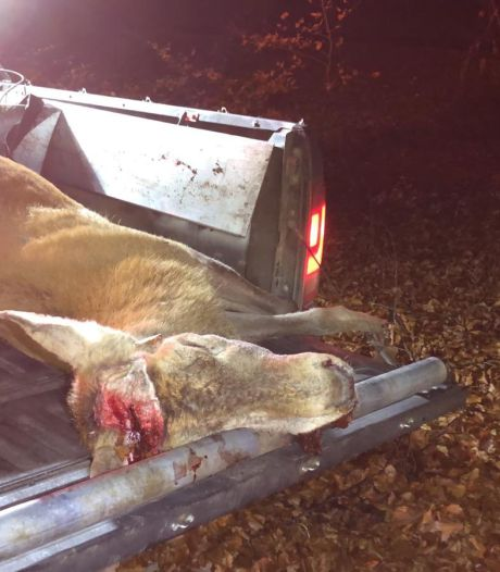 Gewei van doodgereden hert is nog niet terecht, gemeente klaagt de dief aan