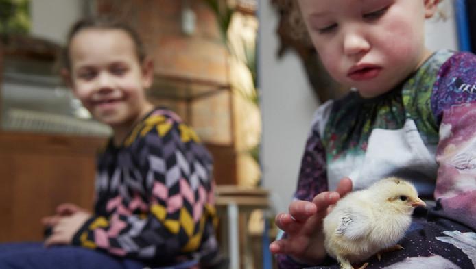 Een kindje aait een kuikentje in dierentuin Artis.