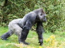 Gorilla bij Apenheul tegelijk met verzorgster zwanger. Baas Bao Bao heeft 'kunstje' eindelijk door