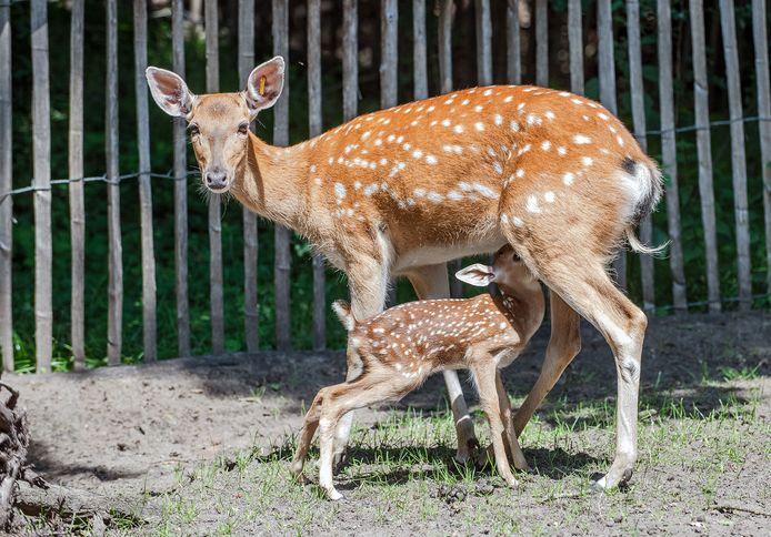 Het was dit jaar niet alleen maar kommer en kwel in de dierentuin. In juli brachten de sikaherten in het Tierpark, een soort die in het wild met uitsterven bedreigd wordt, voor het eerst nageslacht voort. Op de foto de jonge hinde Korona, bij haar moeder Yellow.
