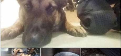 Politiehond 'Battje' lichtgewond in Almelo