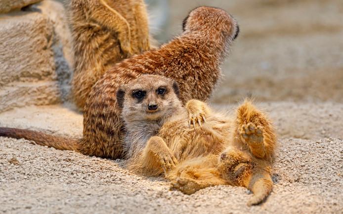 Een meerkat ligt in de dierentuin van het Duitse Stuttgart te ontspannen. Zijn familie blijft waakzaam. Foto Ronald Wittek