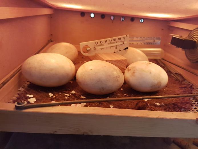 Vijf van de eieren in de broedmachine in Herwijnen.