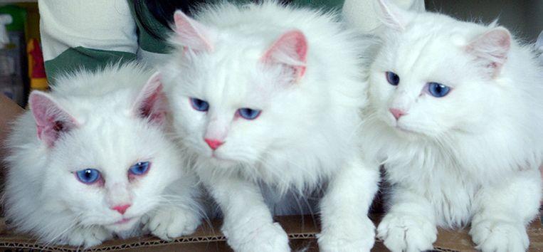 Drie gekloonde katten. Beeld AFP
