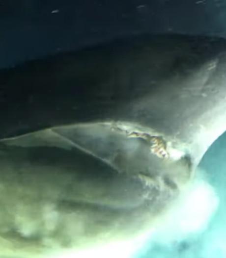 L'attaque impressionnante d'un requin préhistorique filmé au large de la Floride