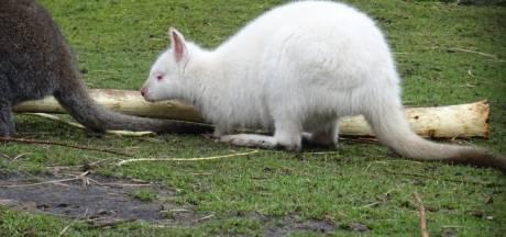 Wallaby gestolen bij kinderboerderij Staphorst: Wie heeft haar gezien?
