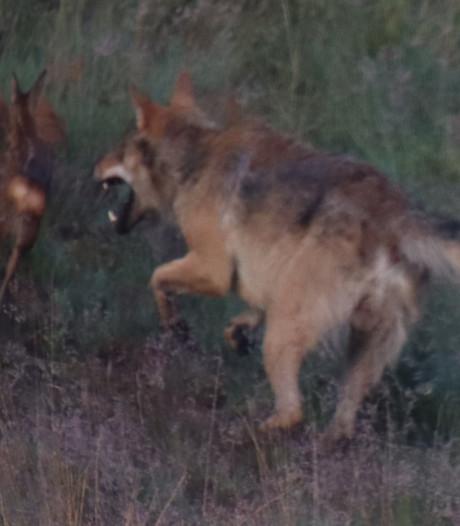 Wolf grijpt reekalf voor oog van Benny uit Epe: 'Ik denk dat ik nooit meer zoiets moois zal zien'