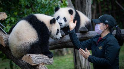 REPORTAGE. Zo ziet een bezoekje aan Pairi Daiza er vanaf maandag uit: overal handgel en op tijd doorschuiven bij de panda's