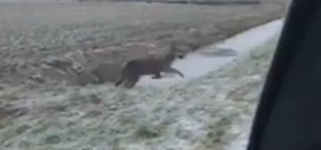 Veelbesproken wolf laat zich zien in Gelderse polder