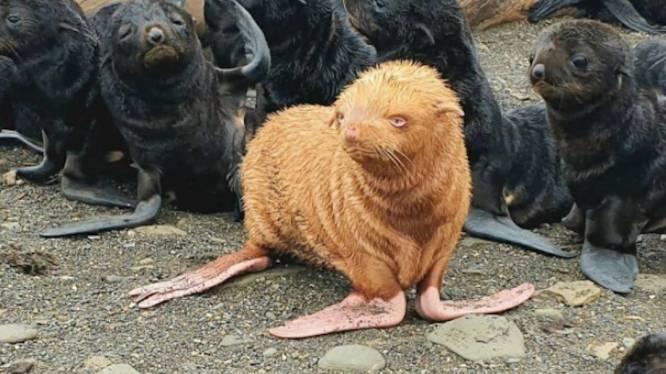 Zeldzame rosse zeehond gespot in Rusland