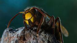 Nuttige en onschadelijke hoornaars doodgemept door paniek over 'monsterwespen'