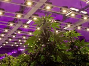 Le Luxembourg va organiser le commerce du cannabis: effet domino chez nous?