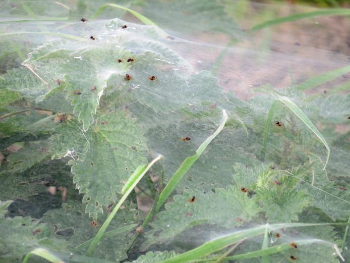Spinnetjes tot zover het oog reikt: het moeten er honderdduizenden, misschien wel miljoenen zijn.