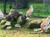 Kangoeroe ontsnapt in Almelo door storm