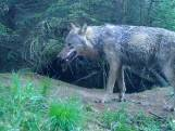 Wolf lijkt zich definitief te vestigen in Drenthe