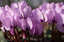 Zwoel: Cyclamen purpurascens.