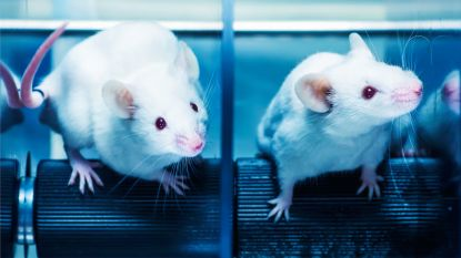 Onderzoekers slagen erin om hiv-virus bij besmette muizen uit te schakelen