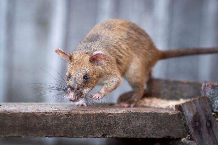 De vrouw dacht dat ze achtervolgd werd door ratten en sprong in de Coupure.