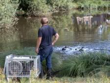Rioleringswater is vijver in Lunteren ingelopen: vissen massaal vergiftigd