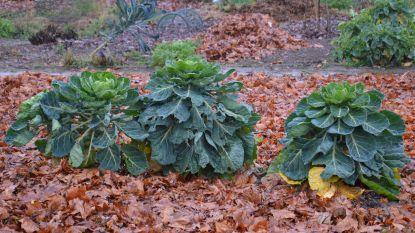 In de wintertuin vieren klassieke Vlaamse groenten nu hoogtij: plant deze, en je zal er elk jaar van oogsten