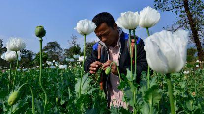 Indiase opiumboeren luiden opnieuw alarmbel: verslaafde papegaaien vernielen hun oogst