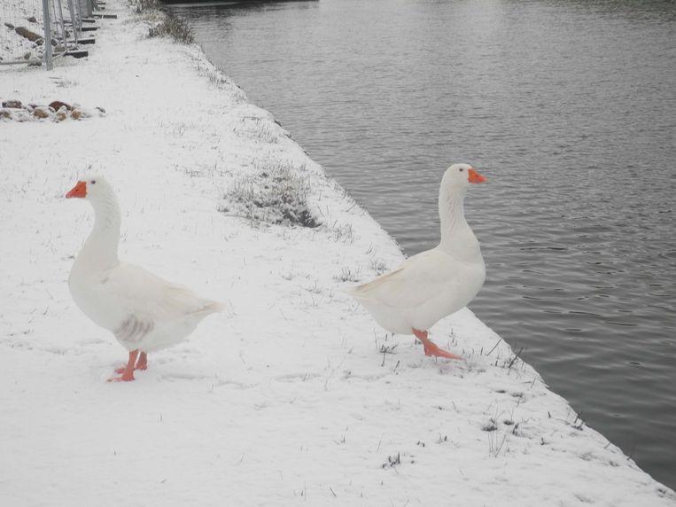 Witte ganzen op wandel langs de Vaartdijk.