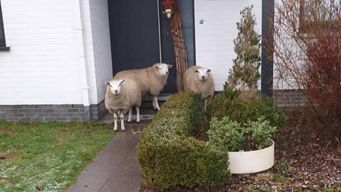"""Ontsnapte schaapjes maken wandeling in Pierstraat: """"Niet zonder gevaar"""""""