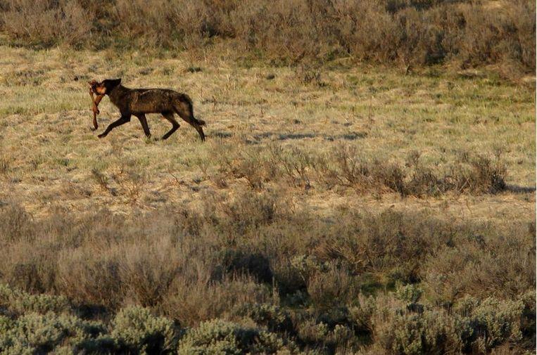 Een wolf in Yellowstone Park Beeld null