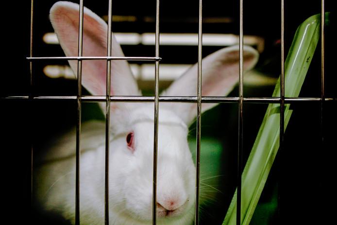 Een konijn in een van de hokken van een laboratorium.