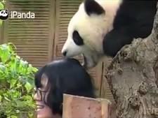 Panda grijpt verzorger bij de haren