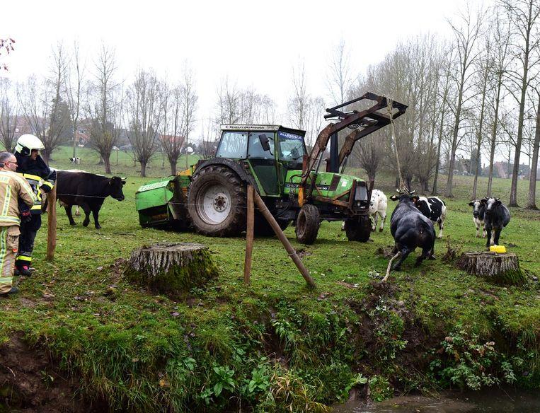 De koe is uit het water haar soortgenoten staan er de hele tijd bij