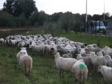Kudde met tientallen schapen wandelt door Doesburg