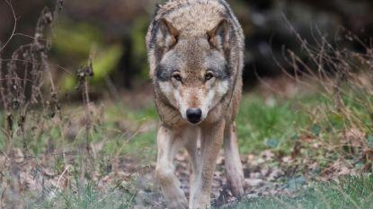 'Wolf fencing team' moet boeren helpen hun vee te beschermen tegen wolven