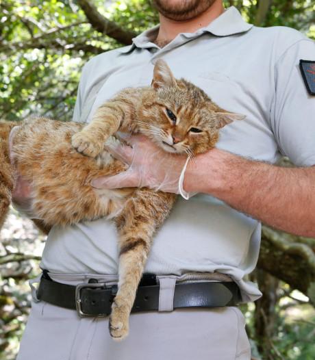 Nieuwe 'schattige' kattensoort ontdekt op eiland Corsica