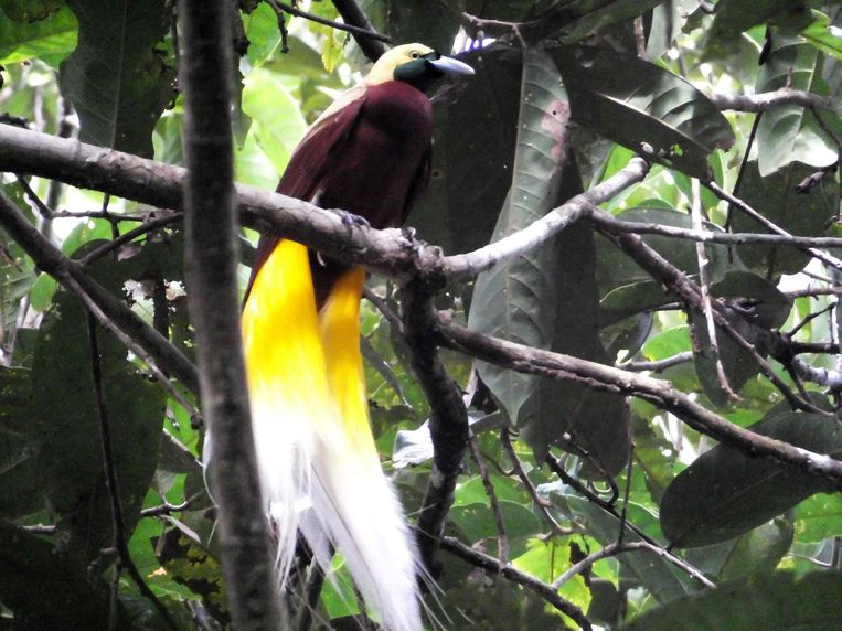 Bij veel soorten paradijsvogels is het mannetje extreem fraai vormgegeven. Het is evolutionair gezien hetzelfde als de bekende pauwestaart of een groot hertegewei; imponeergedrag van mannelijke zijde. Beeld AFP