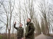 Staatsbosbeheer laat duizenden populieren kappen