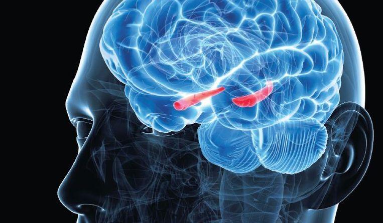 De hippocampus (in het rood weergegeven). Beeld SKU