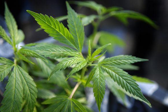 Illustratiebeeld cannabis.