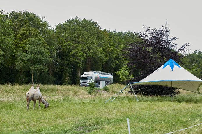 Grazende kamelen langs de provinciale weg in Laren is voor passanten allang geen bijzonder beeld meer.