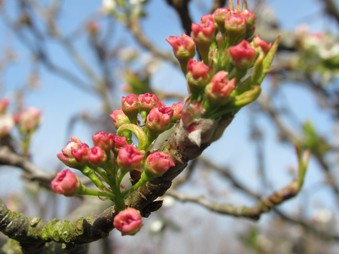 De knopjes van het Malus appeltje worden verwarmd door de zon en spreiden zachtjes hun blaadjes naar het zonlicht