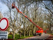 Iconische bomen op de Strijensedijk worden gesnoeid, weg afgesloten