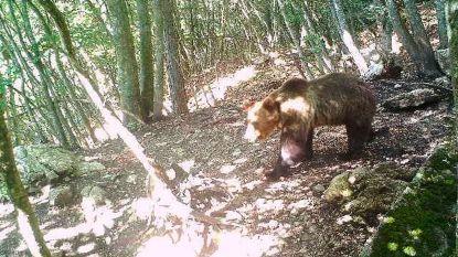 Italië maakt jacht op bruine beer na geniale ontsnapping over elektrisch hek