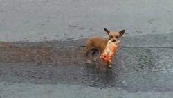 Hond haalt chips voor baasje dat in quarantaine zit
