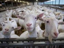 Aantal geiten in Land van Cuijk en Gennep drastisch afgenomen